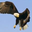 Nederlandse roofvogel beveiligt NAVO-top tegen drones